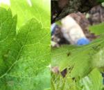 Aparecen las primeras manchas de mildiu en el término de Montemayor.